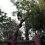 500年文冠树