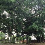 看得出寺庙年纪的大榕树(?)