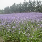 蓝调熏衣草庄园