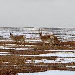 可可西里保护区路边的藏羚羊