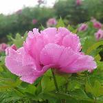 垫江牡丹 紫色 雨后 2