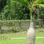 兴隆的热带植物园里的树