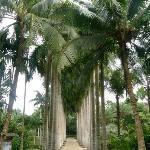 兴隆热带植物园的导弹树