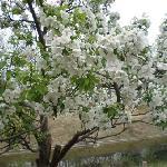 春天戚城梨开繁