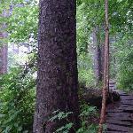 静谧的山中小路,真担心红松后面会突然跑出一只大狗熊来。