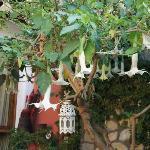 人民路419号猫猫果儿客栈,那极美的蔓陀萝花