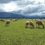 长桥海牧羊