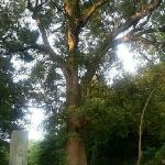 晓起很有名的千年樟树!