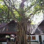 卡尼岛的标志大榕树
