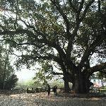 虹关千年古樟树