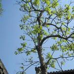 罗汉寺里的生机勃勃的树