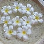 美丽的鸡蛋花