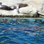 可爱的海狮