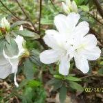 白色的杜鹃花