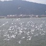 冬日滇池红嘴鸥