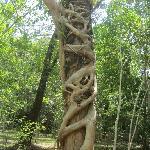 雨林里的大树