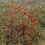 山上的沙棘树,当地特产