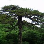 奇特的松树