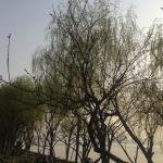 春天。柳树。晴天。