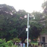 最喜欢村中的大榕树