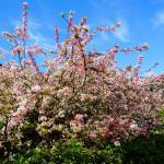 BBH外面的樱花
