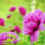 长春牡丹园的牡丹花