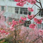大理学院樱花