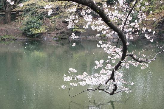 Shinjuku Gyoen National Garden : 樱花