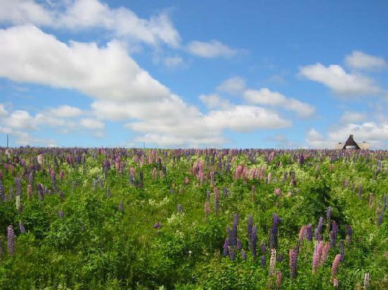 Prince Edward Island, Canada: 薰衣草~