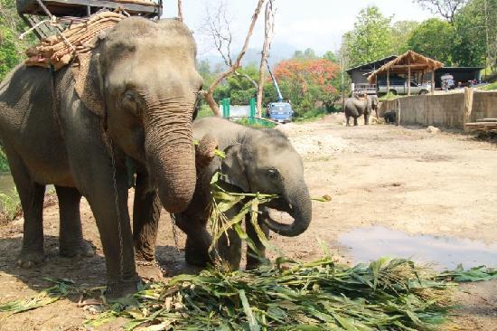 Chiang Mai, Tailandia: 大象