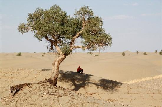 Qiemo County, Chiny: 沙漠中的胡杨,修路工人的一片绿荫