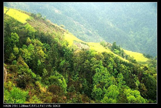 Shitan Village: 山坡上的油菜花