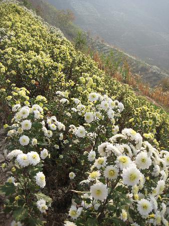 Shitan Village: 十月满山的菊花
