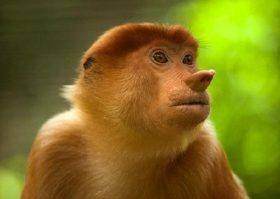 Sabah, Malaysia: 长鼻猴
