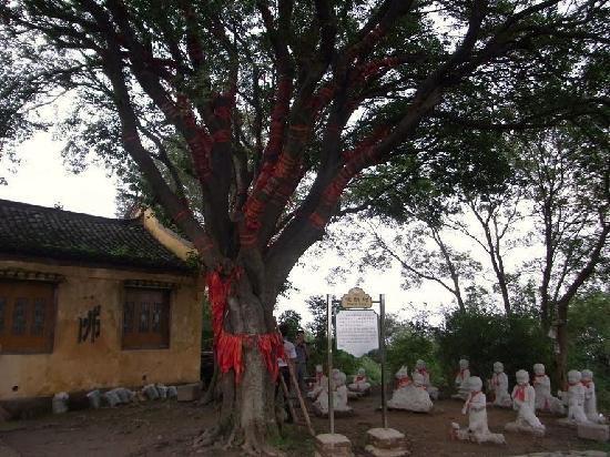 Marsh of Chaohu Area: 岛上的圣姥庙,这颗大树上缠满了红绸,都是祝福,电影《天仙配》的定情地。