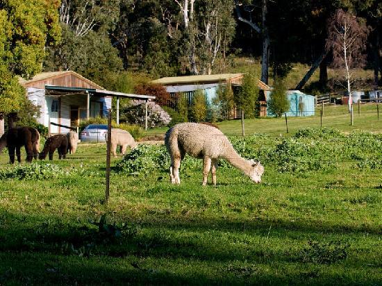 Valley Farm Vineyard: 羊驼