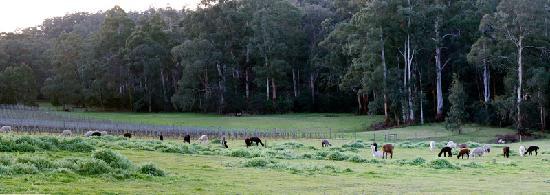 Valley Farm Vineyard: 葡萄园、牧场和羊驼