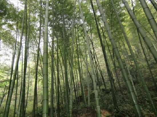 Tea Mountain Bamboo Sea