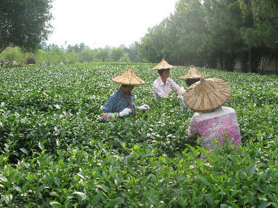 Zhangpu County, China: 采茶忙