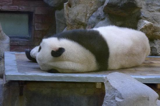 Beijing Zoo: 熊猫好像是这里最受欢迎的明星吧
