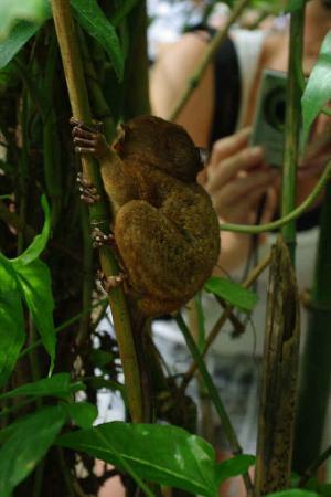 Philippine Tarsier and Wildlife Sanctuary: 背面的眼睛猴