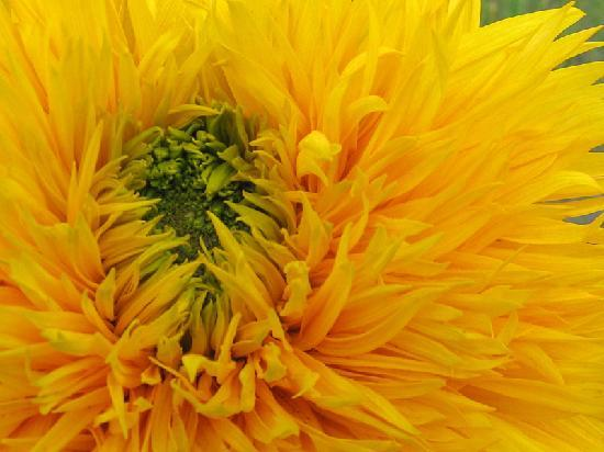 Inner Mongolia, China: 灿烂的向日葵在内蒙随处可见