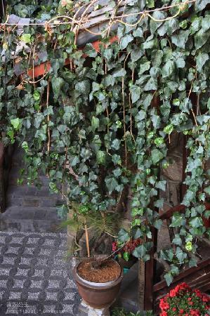Naxi Yunyin Inn : 年迈的爬山虎