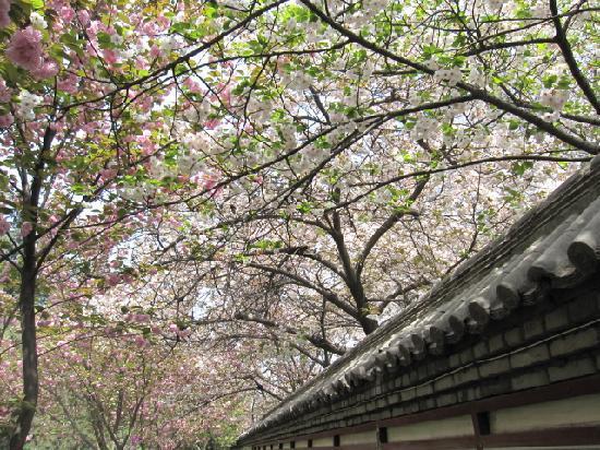 Xi'an, China: 我们赶在了看樱花的季节去~