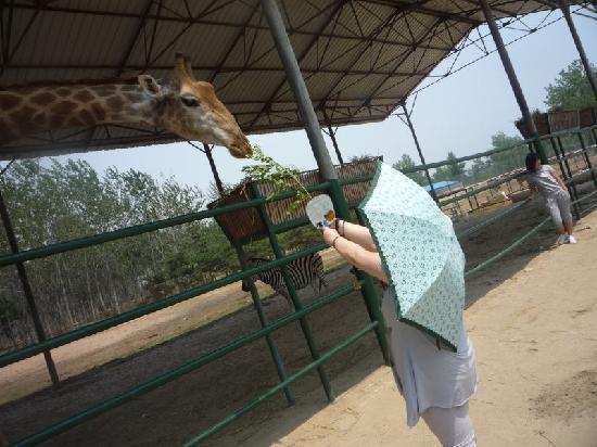 Qinghuang Island Wildlife park: 可爱的长颈鹿