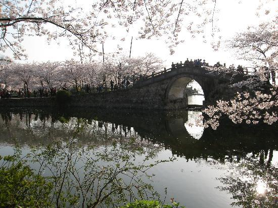 Wuxi, Cina: 长春桥边的樱花