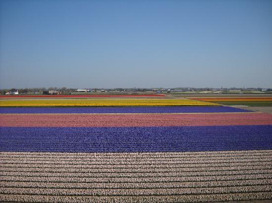 Amsterdam, Holland: 郁金香花田
