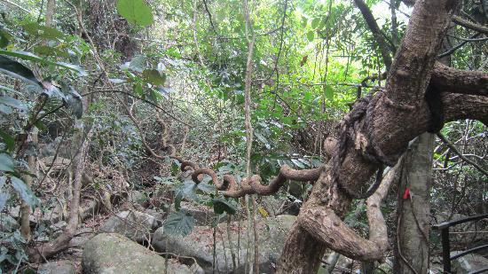 Yanuo Tropical Rain Forest Resort: 过江龙