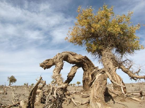 Ejina Qi, Chine : 胡杨树的今天和明天