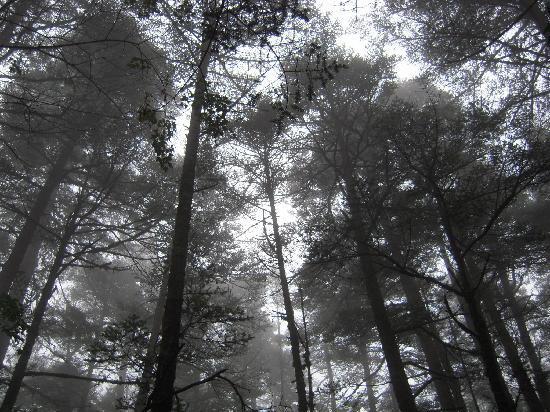 Lijiang Spruce Plain